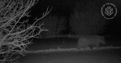 Bear caught on camera at night. Photo credit Snow Leopard Foundation