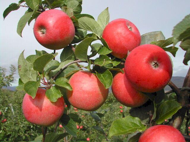 1c21662c Nå er norske epler på sitt beste, så bruk epledagen som en anledning til å