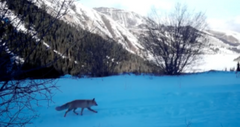 Fox roaming high in the mountains caught on camera. Photo credit Snow Leopard Foundation